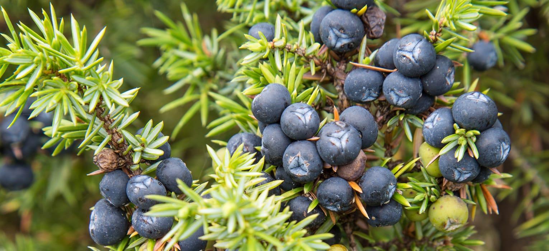 https://naturasiberica.ee/wp-content/uploads/2016/05/ns-juniperus-sibirica-featured-image.jpg